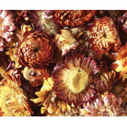 Dried Sun Flowers Assorted 50g